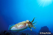 broadclub cuttlefish or reef cuttlefish, Sepia latimanus, Richelieu Rock, Surin Islands, Thailand ( Andaman Sea, Indian Ocean )