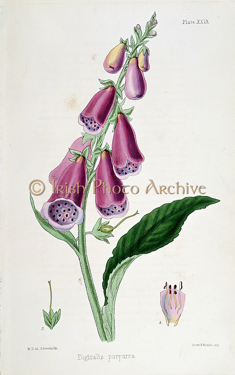 Foxglove (Digitalis purpurea) source of Digitalis. Used from Medieval times as emetic and purgative. After Withering (late 18th century) used as diuretic in dropsy. Not realised improvement due to heart stimulation. 19th century lithograph