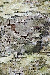 Bark Detail, Upper Negro Island, Castine, Maine, US