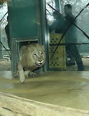 Germany - Female Lion Baari Is Exchanged For Lion Akinda - 18 Dec 2016