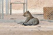 Israel, Aravah, The Yotvata Hai-Bar Nature Reserve breeding and reacclimation centre Arabian leopard (Panthera pardus nimr)