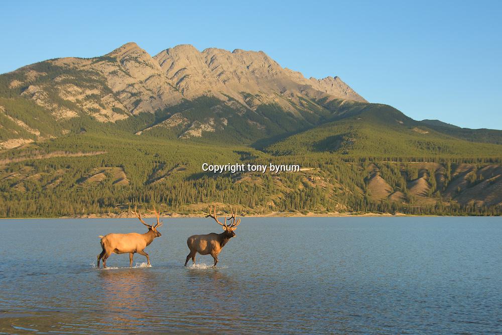 bull elk in river lake