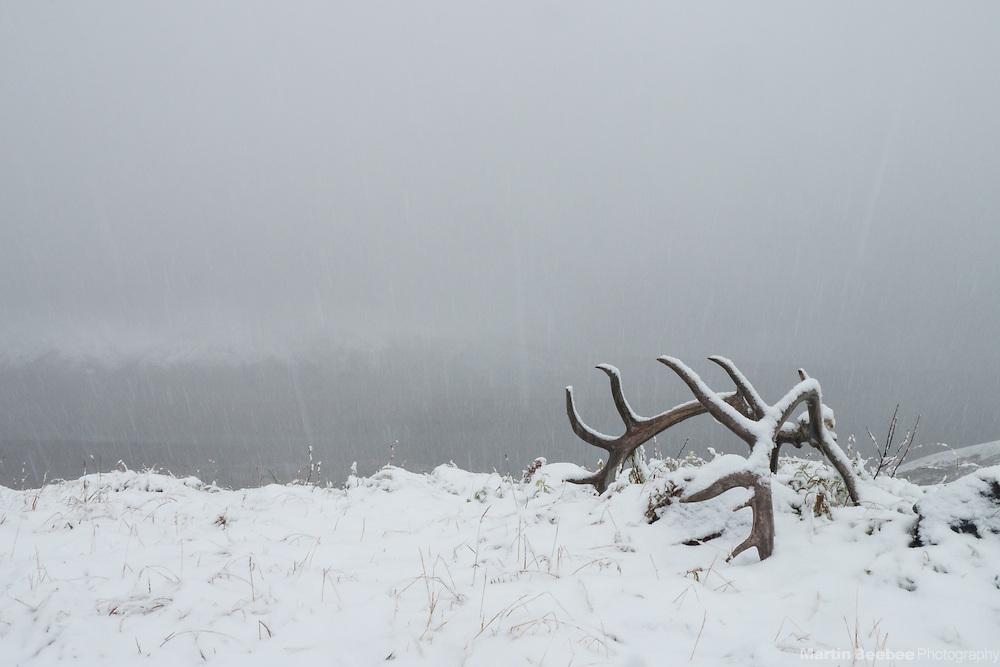 A set of Caribou antlers in snow at Eielson Visitor Center, Denali National Park, Alaska
