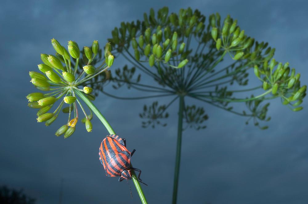 Harlequin bugs (Graphosoma italicum) near lake Belau, south Moldova