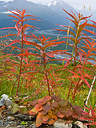 Fireweed (Epilobium angustifolium) leaves turn orange in Kenai Fjords National Park, Alaska, USA. The only road into the park is a spur of the Seward Highway to Exit Glacier, one of the most visited glaciers in Alaska.