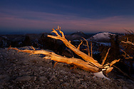 A bristlecone pine is painted with a flash light, just after sunset, White Mountains, CA