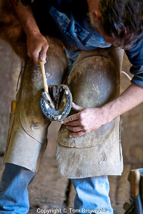 Farrier giving a mule a new studded shoe
