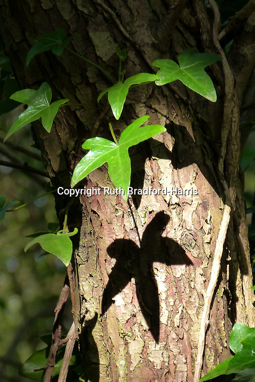 Early morning Sun filtering through the leaf canopy in Ploughman Wood, Nottinghamshire, casts sharp shadows on a tree trunk of vibrant green Ivy leaves (Hedera Helix).<br /> <br /> Date taken 5 May 2017.