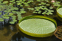 Giant Water (Victoria amazonia) Lily in gardens, Hong Kong, Hong Kong, August 2008   Photo: Peter Llewellyn