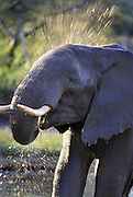 African Elephant <br /> Loxodonta africana<br /> An elephant bathing at a waterhole<br /> Ngorongoro Conservation Area, Tanzania