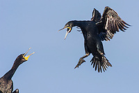 Cape Cormorant landing at its nest site, Robben Island, Western Cape, South Africa