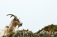 A Welsh Mountain Goat chews gorse at The Dinorwic Slate Quarry, Llanberis in north Wales.
