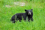 Black bear (Ursus americanus) in meadow<br /> near Pemberton<br /> British Columbia<br /> Canada