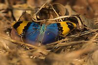 Gold-Banded Forester butterfly - Euphaedra neophron, Unguane, Inhambane Province, Mozambique