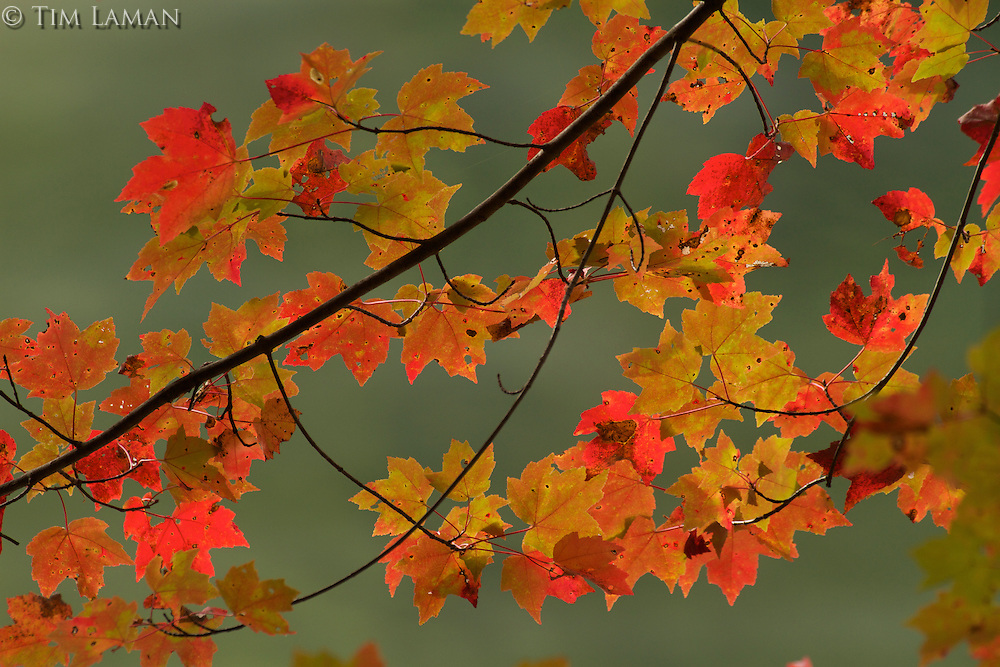 Fall maple leaves turning red.