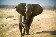 An elephant spreads its ears in a display of warning to onlookers, in Madikwe Game Reserve, which is regarded as one of the better conservation areas in Africa. It is home to most of the major species including the big 5, North West, South Africa.