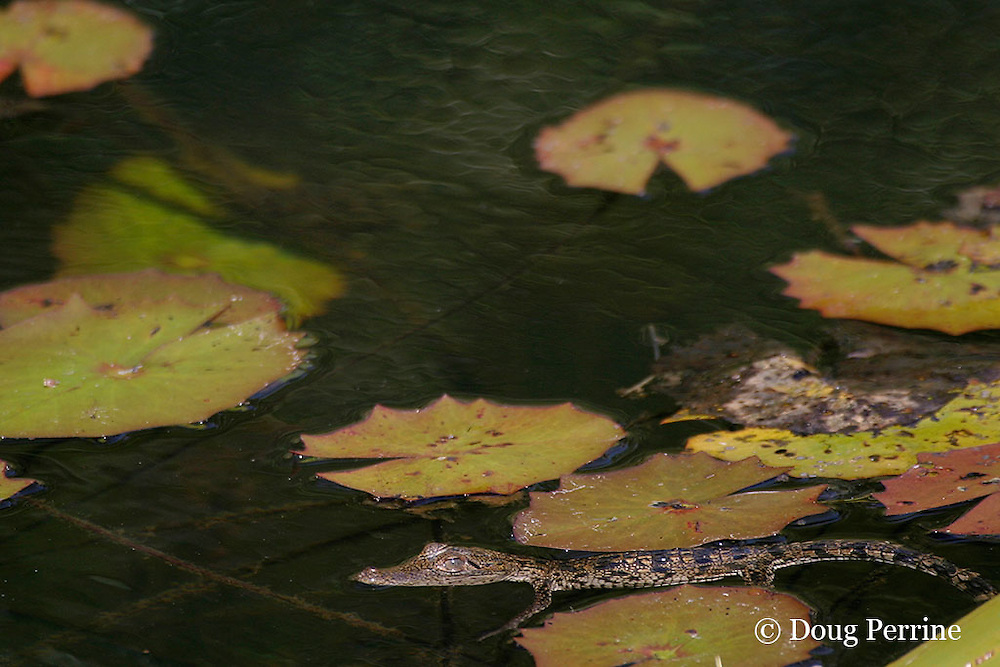 baby Morelet's crocodile, Belize crocodile, or Central American crocodile, Crocodylus moreletii, floating in Cabbage Hole Creek, Stann Creek District, Belize, Central America