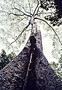 The primitive Cholanaicken tribals who are cave dwellers hunt for honey during the night.During the day they secure bamboo poles to the tall tree with the  chopped but still sharp nodes acting as footholds.They climb the tall tree with a flaming 'bandham'(a bundle of slender bamboo) and a basket on the back to lower the hive to the ground.It is a dangerous exercise for the inexperienced to climb on the sharp noded bamboo poles even in the daytime.But the tribals climb with total comfort and ease in pitch darkness.The bees are driven away by the smoke and heat and huge hive cut and lowered to the ground.An amazing exhibition of tribal wisdom and experience to be witnessed and appreciated.