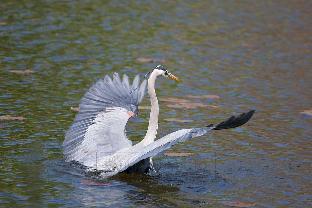 A Great Blue Heron  takes flight within a small restored habitat near Lake Nokomis
