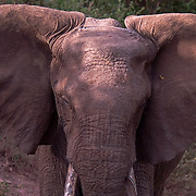 A large female African elephant (Loxodonta africana) eyes the camera in Lake Manyara National Park, Tanzania. With babies nearby, she was threatened by the presence of humans as indicated by her ears and defensive posture.