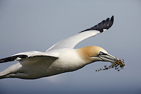 Gannet (Sula bassana) Saltee Islands Ireland