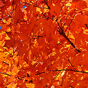 """Blazing Maple""<br />