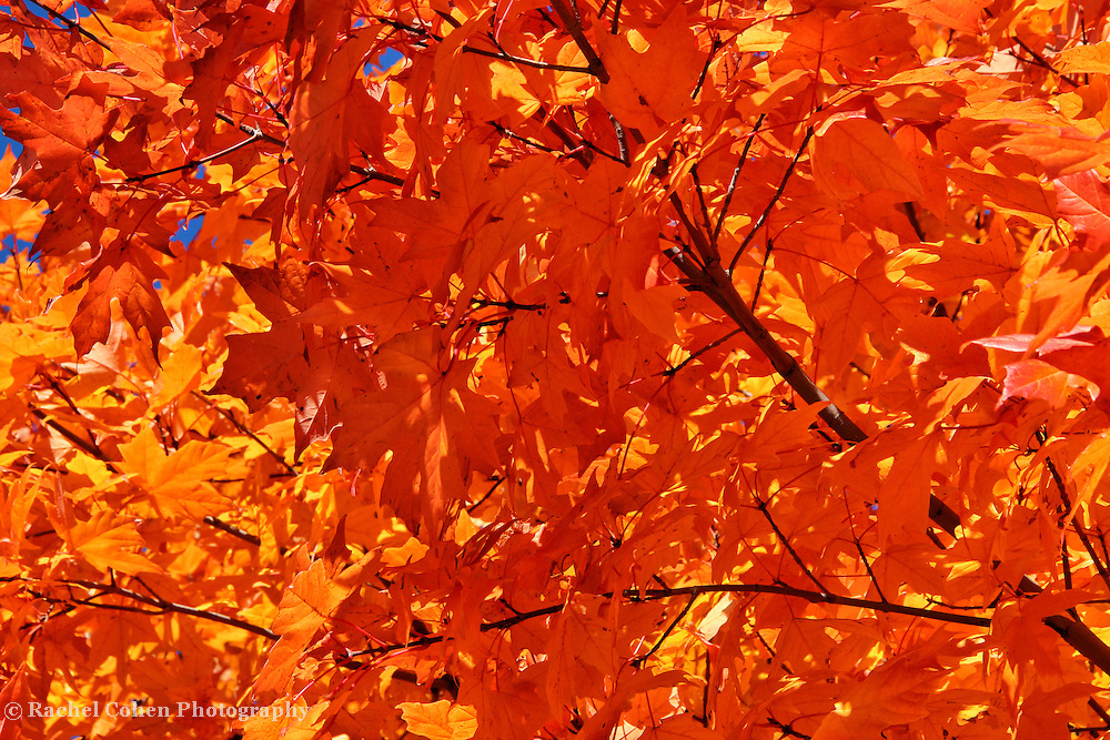 &quot;Blazing Maple&quot;<br />