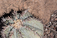Devil's Head Cactus (Echinocactus horizonthalonius) at Big Bend Ranch State Park, Texas