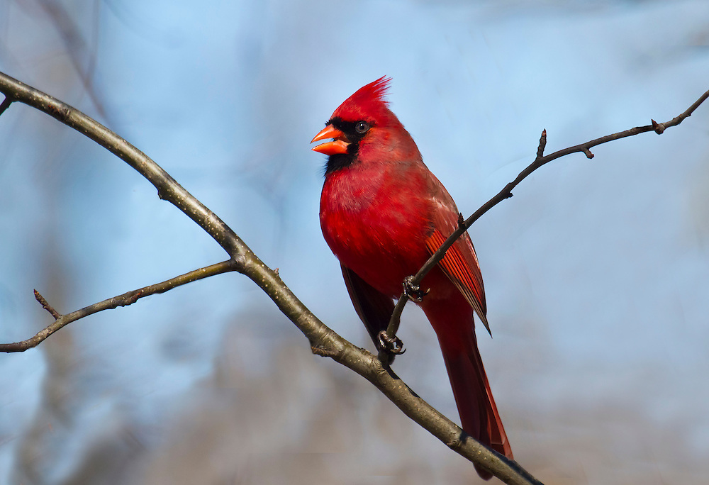 A cardinal in a tree near Prospect Park Lake.