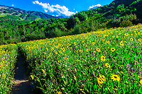 Wildflowers, Rim Creek Trail, Snowmass Village, Colorado USA.