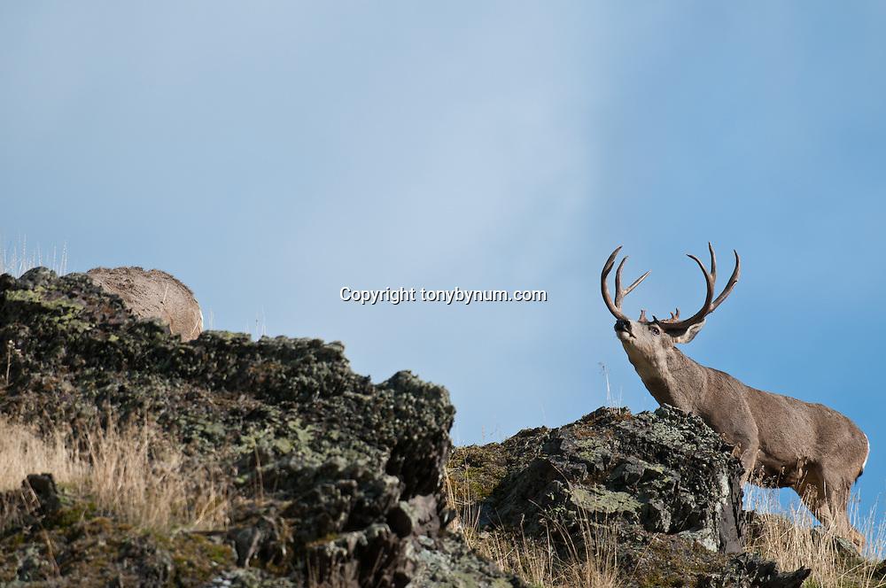 mule deer buck on rocky rodge open sky, chasing rutting female estris