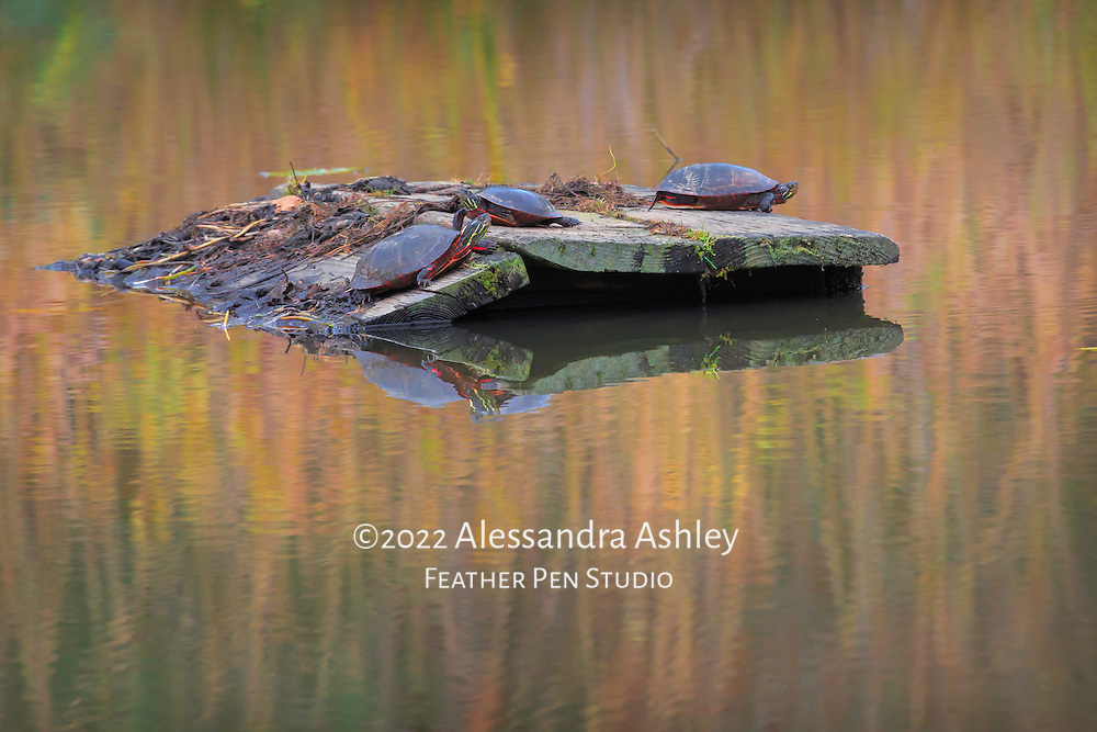 Trio of turtles sunning above pond amid autumn foliage reflections.