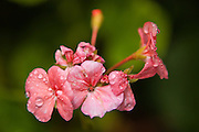 A geranium in the early morning dew.