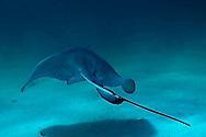 Southern Stingray, Myliobatiformes dasyatis americana, Grand Cayman