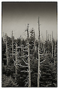 Long dead sentinels reach for the sky near Clingmans Dome summit in the Great Smoky Mountains National Park