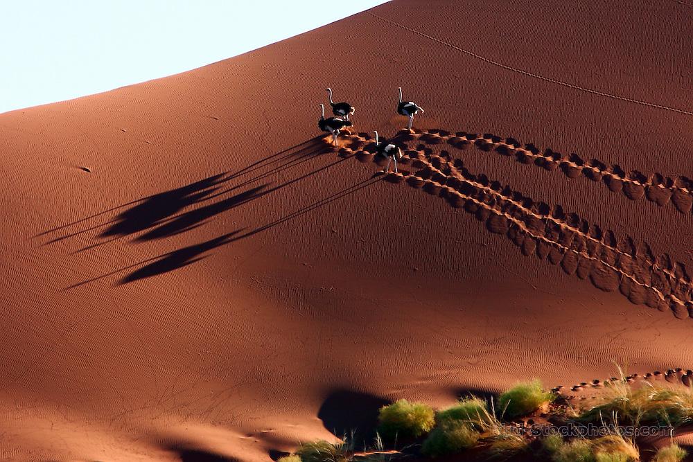 Common Ostrich, Struthio camelus, running up sand dune, Sossusvlei, Namibia, by Markus Lilje