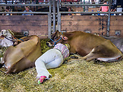 08 AUGUST 2019 - DES MOINES, IOWA: Emily Manweiler, 15, from Sumner, Iowa, rests with her Jersey cows in the dairy barn on the first day of the Iowa State Fair. The Iowa State Fair is one of the largest state fairs in the U.S. More than one million people usually visit the fair during its ten day run. The 2019 fair run from August 8 to 18.           PHOTO BY JACK KURTZ
