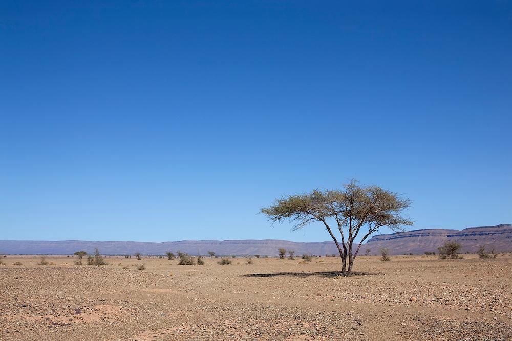 Sahara acacia tree (Acacia raddiana).