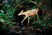 A mule deer (Odocoileus hemionus) walks through a stream. An automated camera recorded the scene. Photographed in the de-commisioned US Army Camp Bonneville in SW Washington.