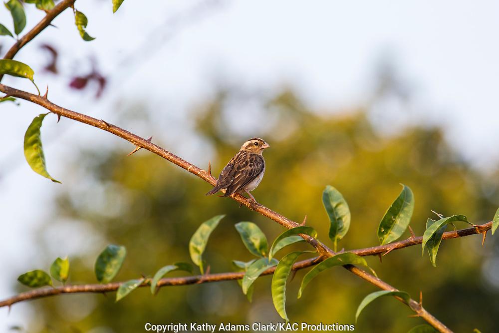 House sparrow, Passer domesticus, Arusha, Tanzania.