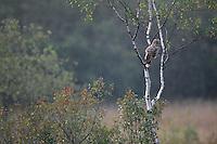 Ural Owl (Strix uralensis), the Carpathians; Carpathian Mountains; Bieszczady Mountains; Poland