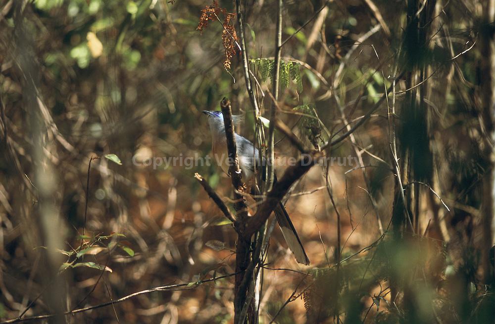 C'est une espèce endémique de Madagascar...C'est une espèce endémique de Madagascar.