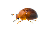 Sap Beetle (Pallodes pallidus)<br /> United States: Alabama: Tuscaloosa Co.<br /> Tulip Tree Springs off Echola Rd.; Elrod<br /> 26-Dec-2017<br /> J.C. Abbott #3013