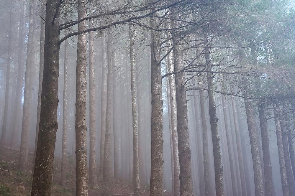 Pine forest, Montado do Barreiro Natural Park, Madeira, March 2009.