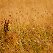 Roe deer, hay meadow.