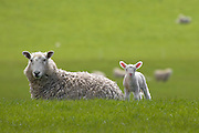 Baby lamb with pink ears in New Zealand