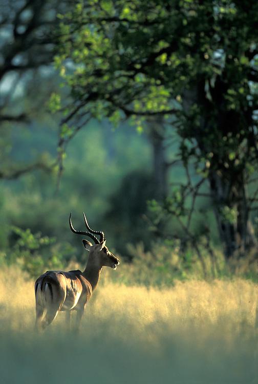 South Africa, Kruger National Park, Impala (Aepyceros melampus) in morning light