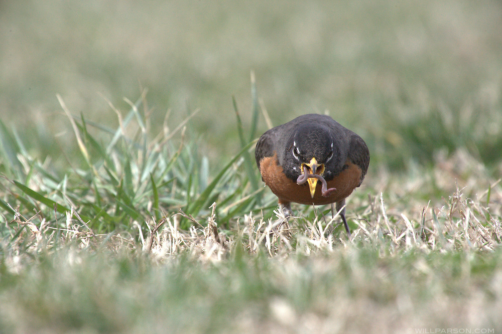 A robin pulls a worm from the grass at Jeff Robertson Park in Norfolk, Va., on March 16, 2015. Robertson Park lies adjacent to the Elizabeth River Trail, a biking and pedestrian route formed from an old railroad right-of-way. It is also next to the Weyanoke Bird and Wildlife Sanctuary. (Photo by Will Parson/Chesapeake Bay Program)