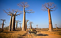 Baobab alley at sunset. These ancient trees line a dirt road in Monrovia that has been used for a thousand years- not nearly as long as the trees have survived.