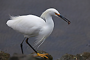 Snowy Egret on the shoreline with crustacean catch.